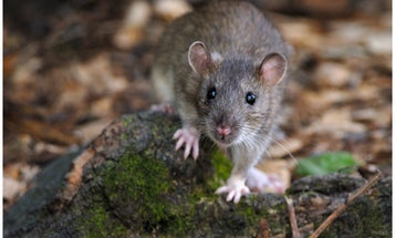 How Rats Got From Mongolia To New York City Subway Tunnels