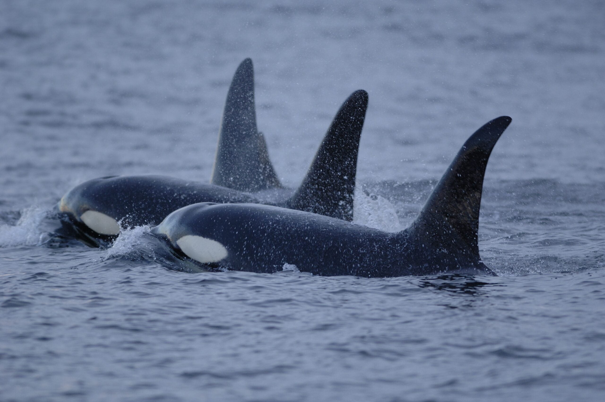 California Bans Captivity, Breeding Of Orcas