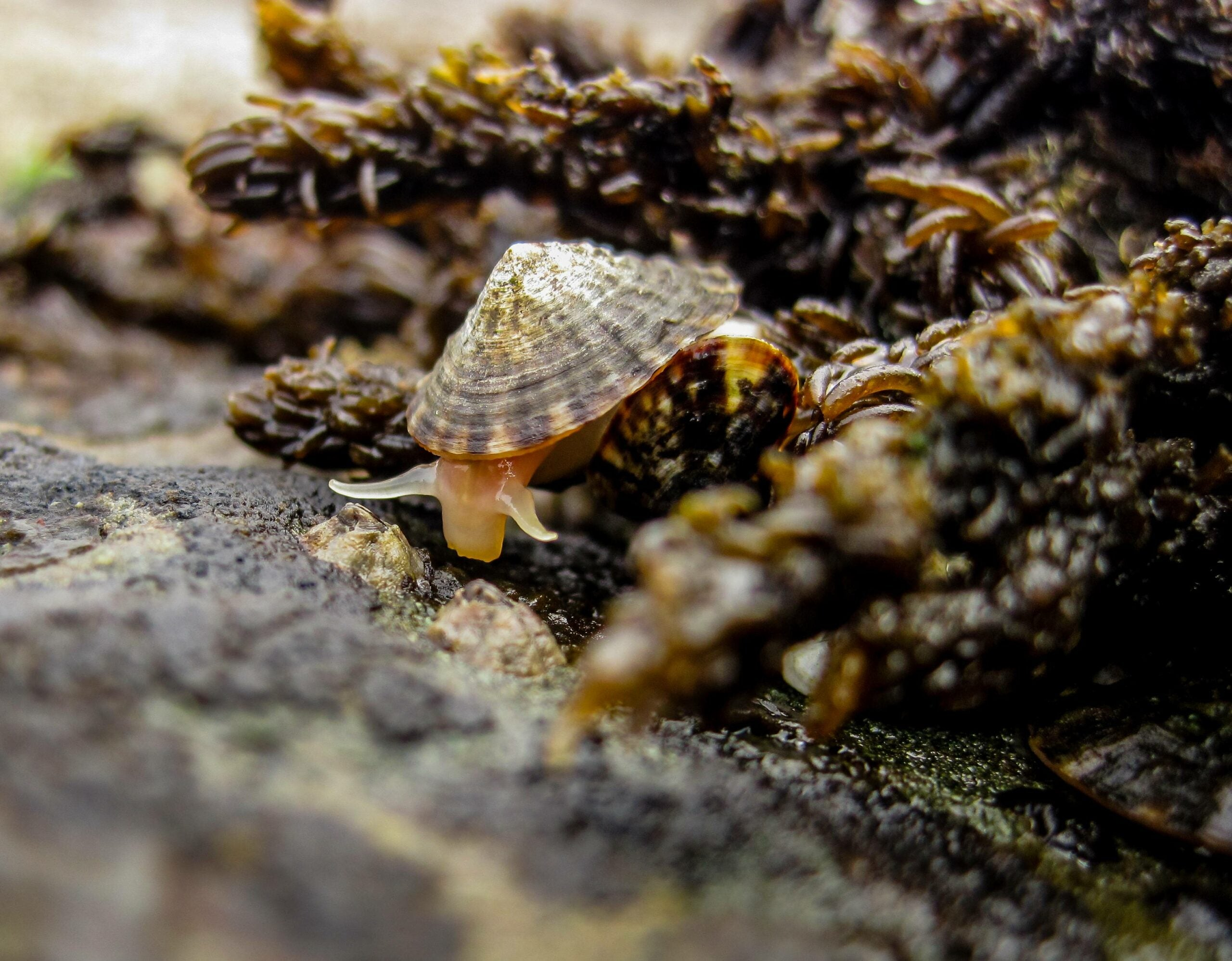 Very hungry snails are guarding coastal ecosystems against climate change