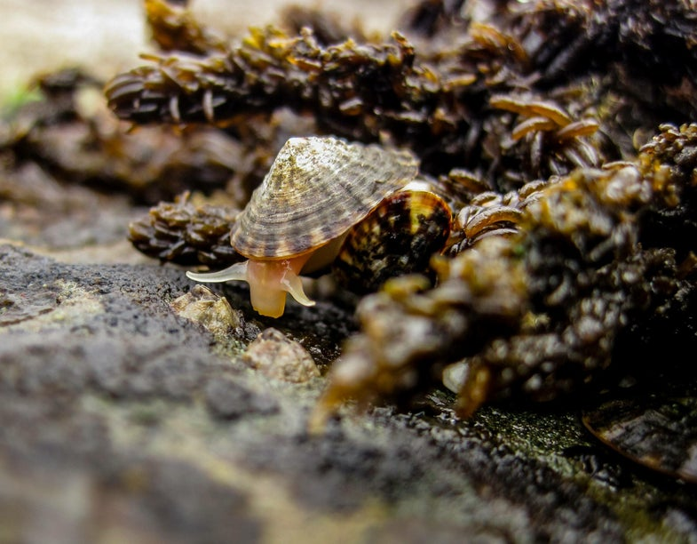 Limpets are common herbivores on rocky shores. Here, one searches for food at low tide.