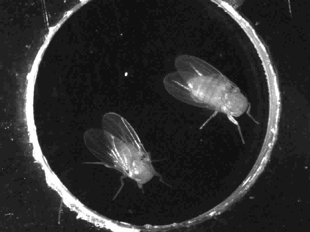 TED Talk: Laser Control of Headless Fruit Flies Uncovers Secrets of the Mind