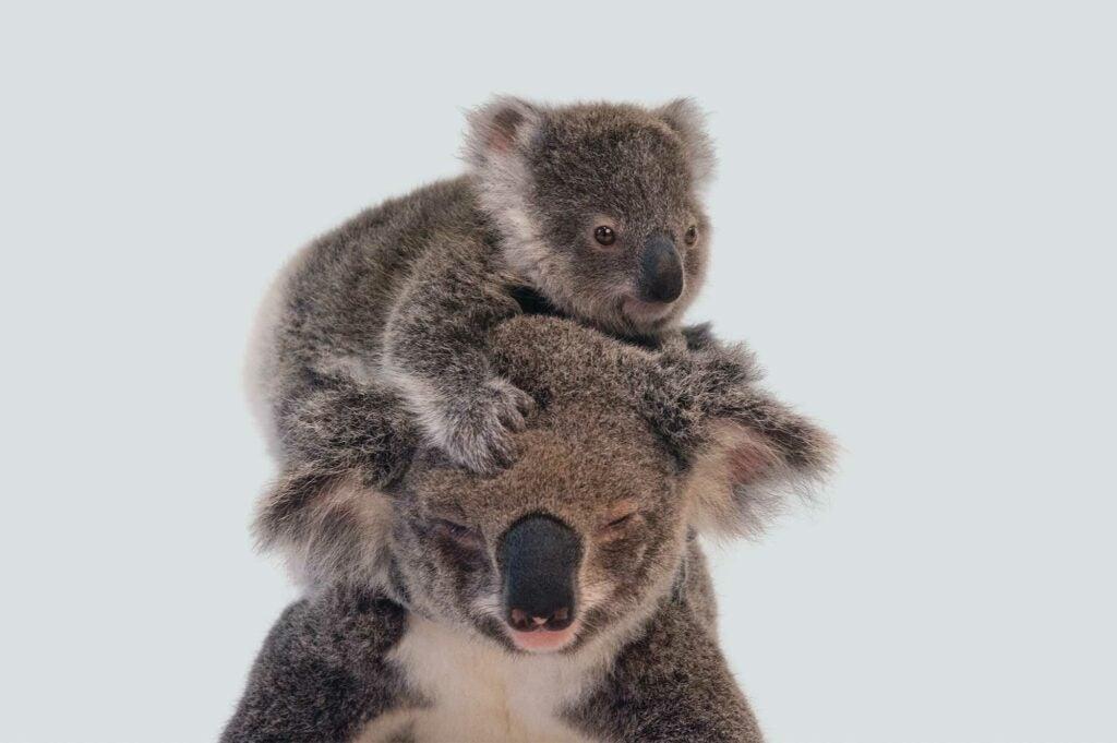 """Koalas"""
