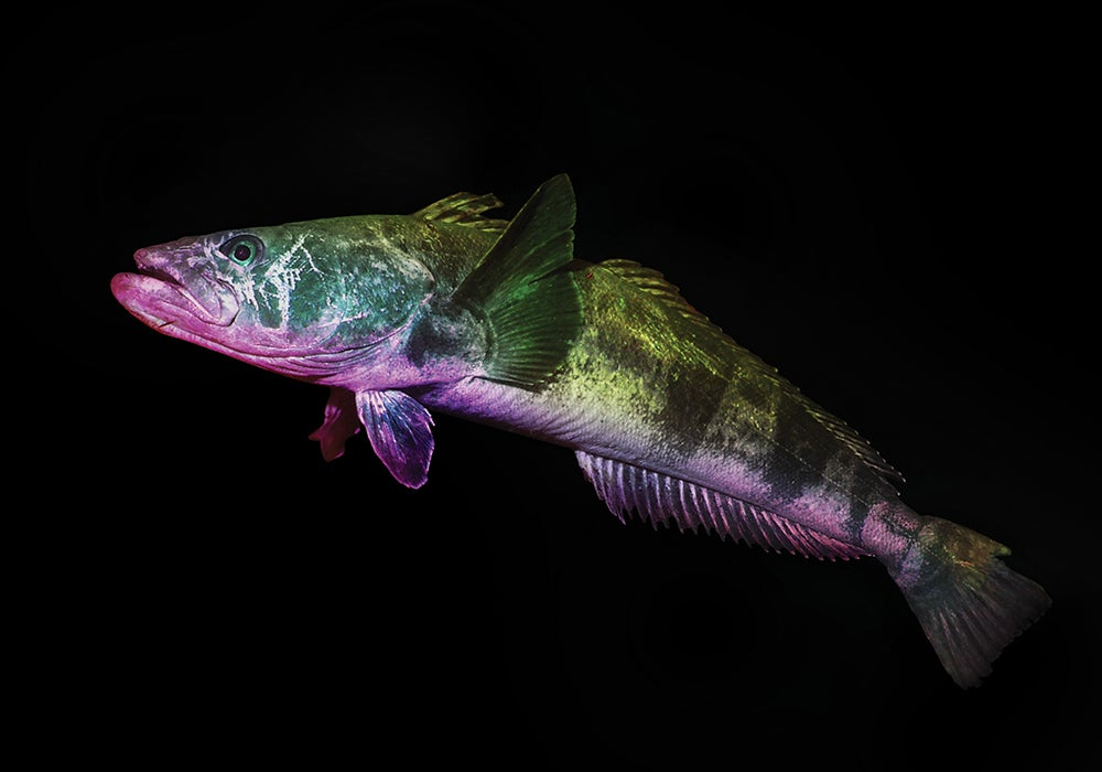 The Fish That Could Save Antarctica