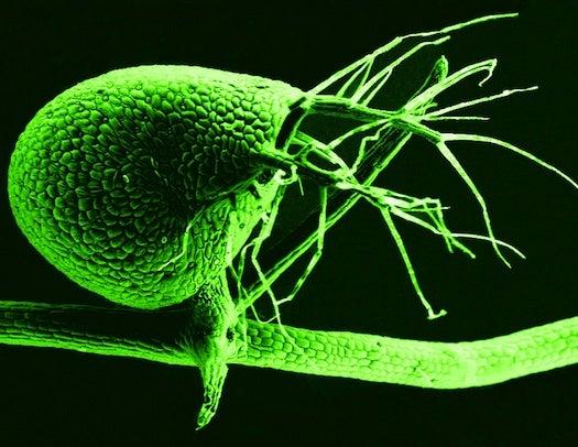 Freaky Carnivorous Flower Has Super-Efficient Genome