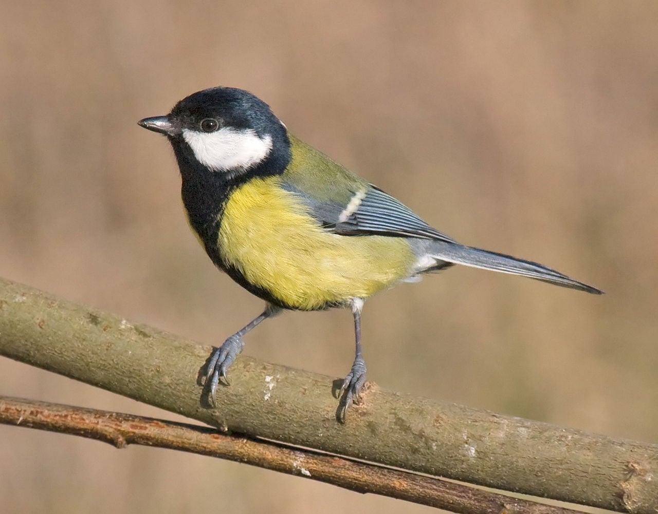 City Living May Shorten Some Birds' Natural Lifespans