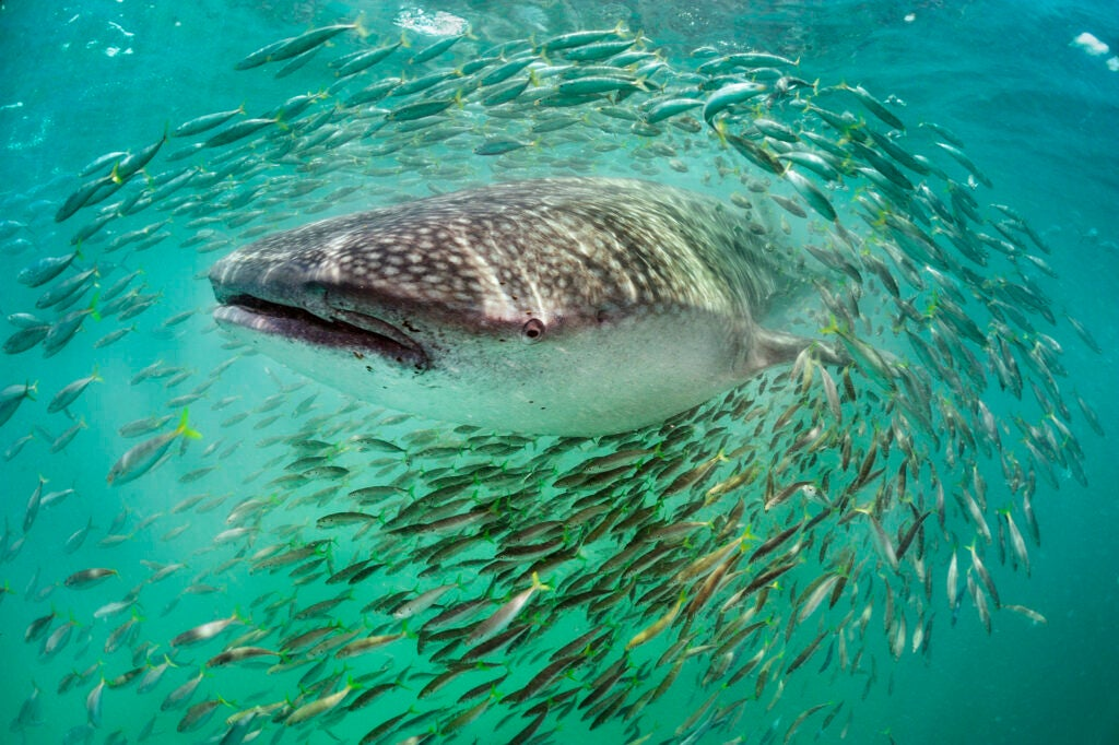 Whale shark and scad