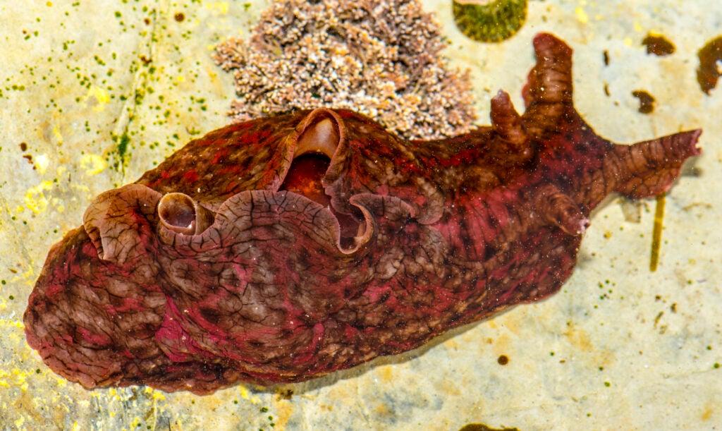 The Aplysia californica, or sea hare, a species of sea slug