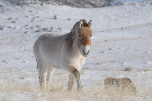 Scientists Decode DNA Of 700,000-Year-Old Horse