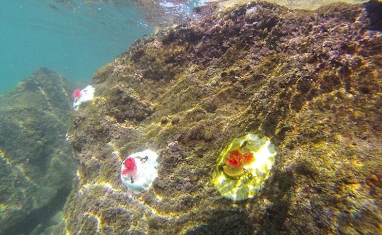 Researches installed artificial coralline algae to test their ability to attract marine micro-fauna.