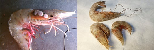 Deformities in Gulf Seafood Found After BP Oil Spill