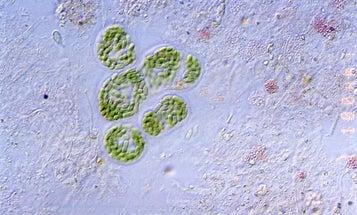 Bacteria-Busting Genetic Bombs Make Biofuel Processing a Blast
