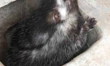 African Rat Smears Poison On Its Fur to Protect Itself From Predators