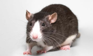 Scientists Regrow Severed Spinal Cords In Rats
