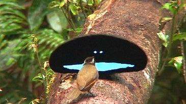 male superb bird of paradise