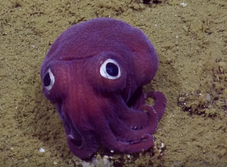 Watch This Googly-Eyed Squid Chill On The Ocean Floor