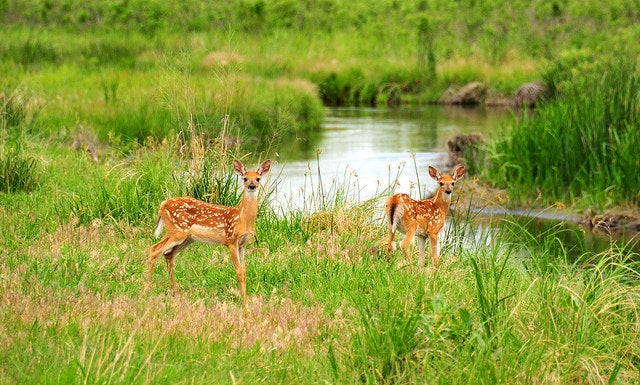 Malaria Found In U.S. White-Tailed Deer
