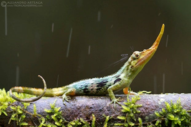 Lost For 50 Years, Delightfully Weird Pinocchio Lizard Reappears In Ecuador