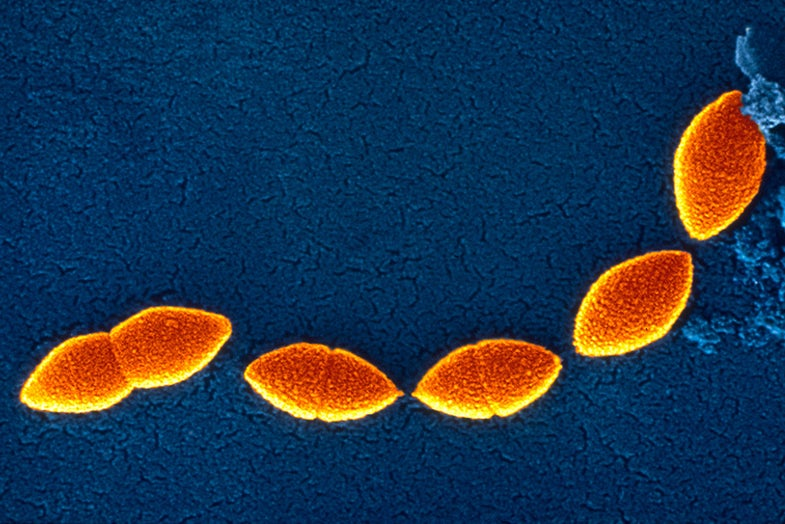 The Double-Edged Sword Of A Nasal Bacterium