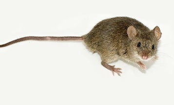 """Has The """"Gay Gene"""" Been Found in Female Mice?"""