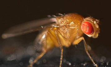 Fruit Flies Force-Feed Their Children Alcohol