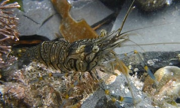 Shyness pays off…when you're a hungry prawn
