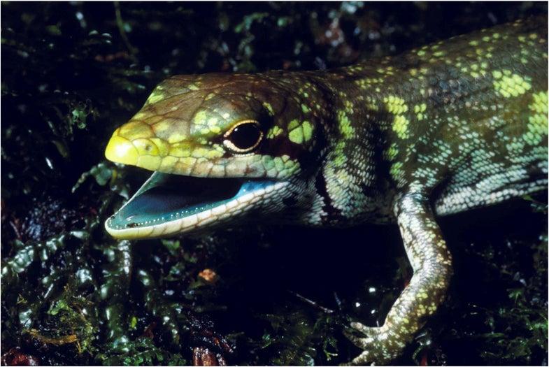 green blooded lizard