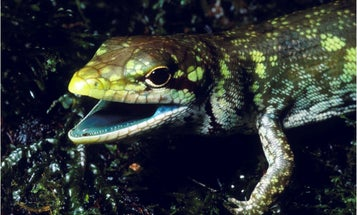 Green bones, green hearts, can't lose: these lizards survive with toxic green blood
