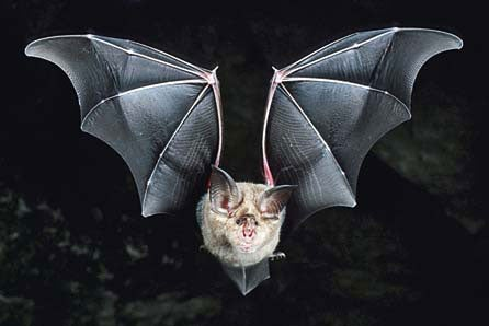 From Bat Ears to Sonar