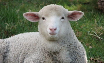 Sheep On Drugs Offer Insights Into Farm Anxiety
