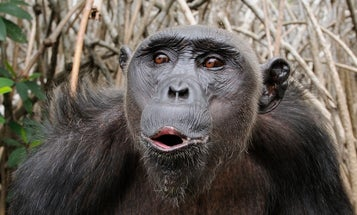Chimps Can Learn To Cook Their Food (Or At Least To Microwave It)