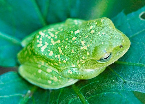 Frogs on the Verge of a Major Extinction