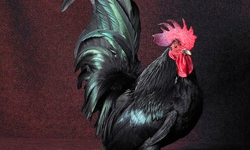 You've Never Seen Chickens Look This Human