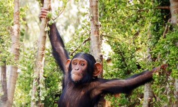 The 'Whos' and 'Whichs' of Chimpanzees