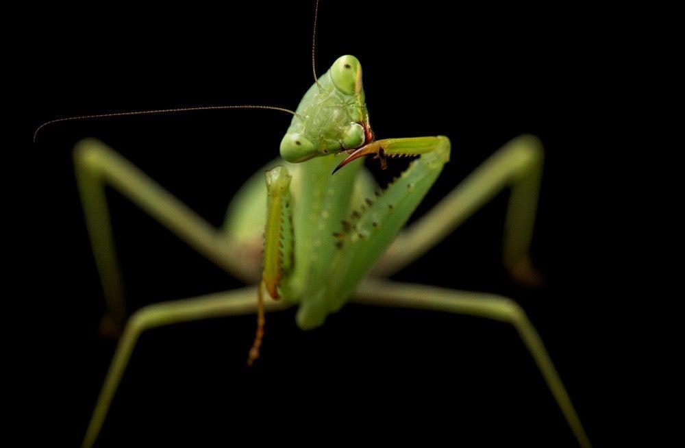 springbok mantis
