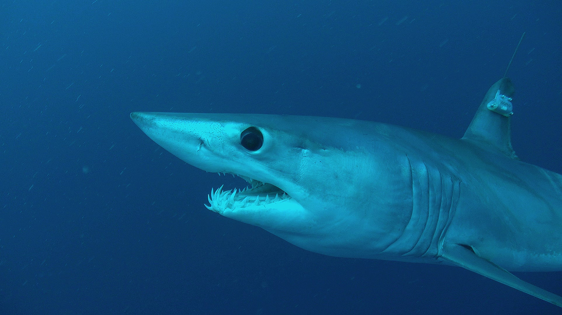 The world's fastest shark is in trouble