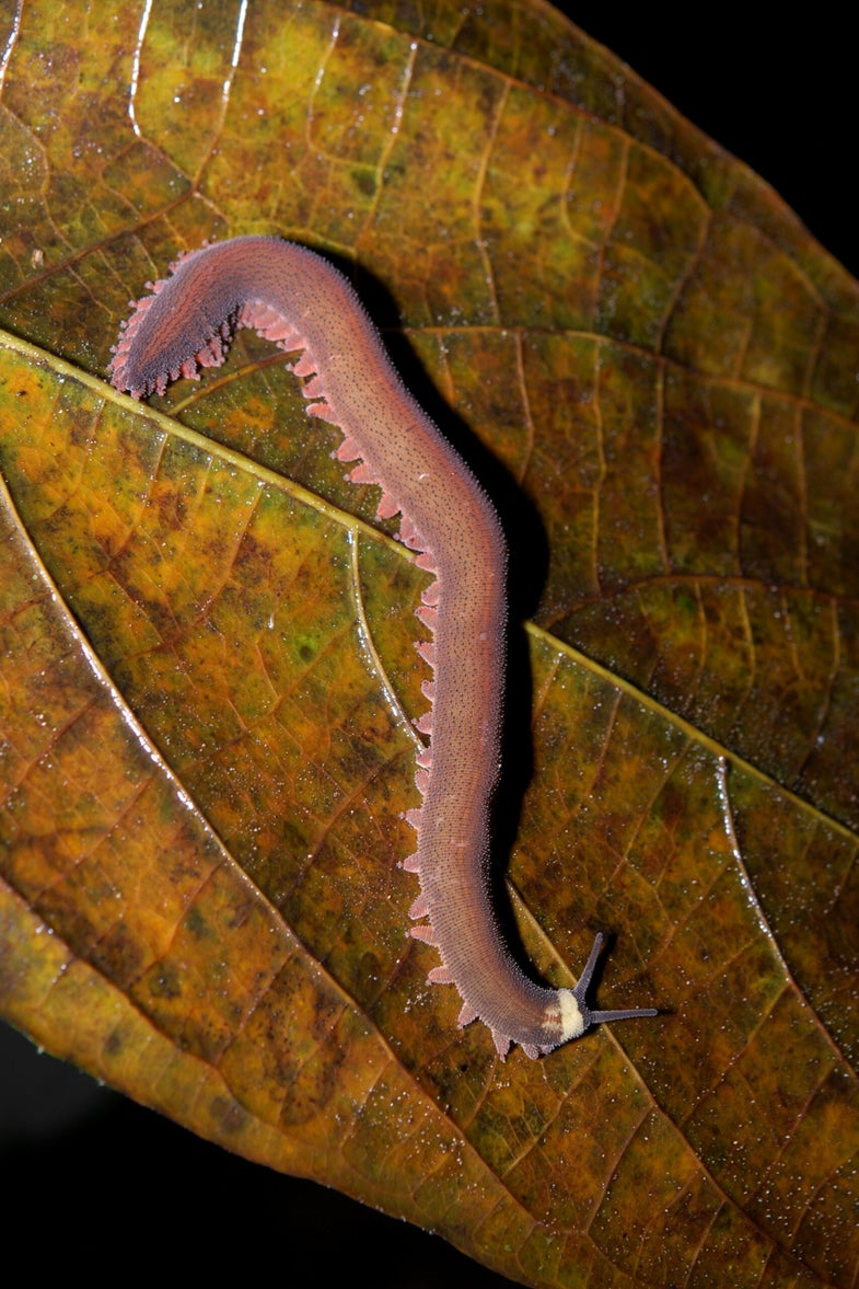 Watch A Velvet Worm Squirt Slime Everywhere [Video]