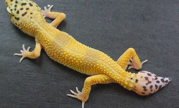 The secrets of gecko tails could help heal human spine injuries