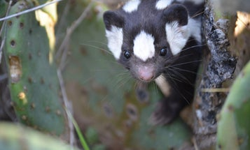 Ancient climate change drove the evolution of this adorable hand-standing skunk