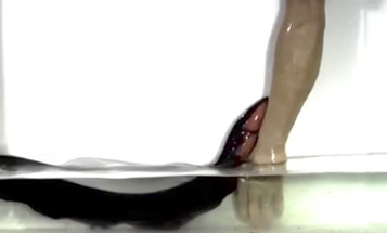 See electric eels perform 'leap attack' out of water