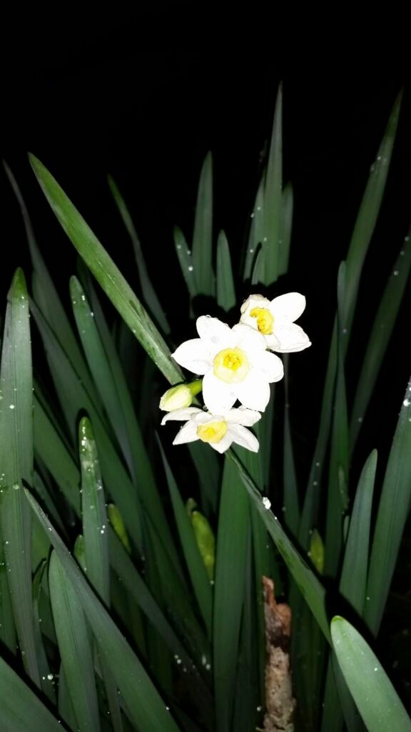 paperwhite daffodils blooming