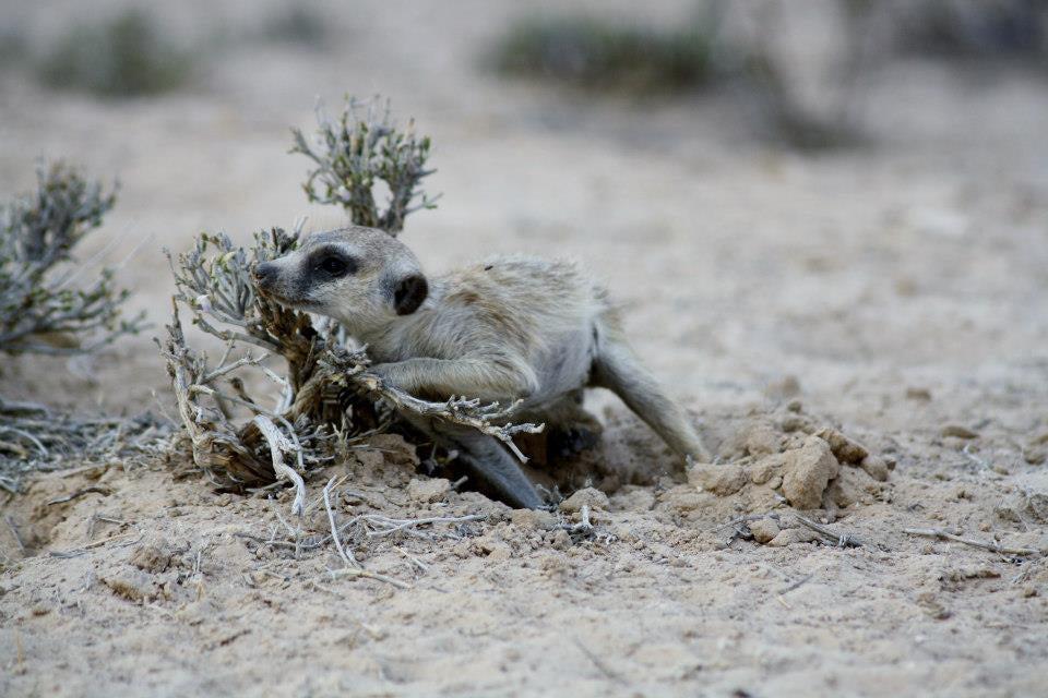 Meerkat cheek