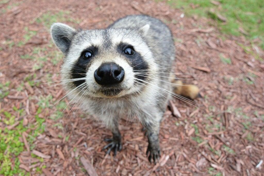 raccoon bandit sick