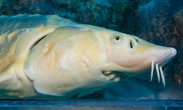 Ten of the ugliest animals threatened by climate change