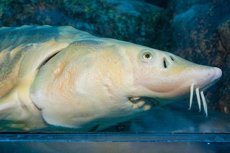 Acipenser sinensis (Chinese sturgeon)