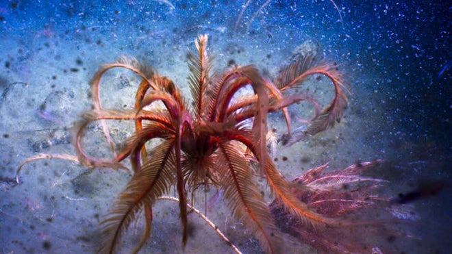 Antarctic giant feather star