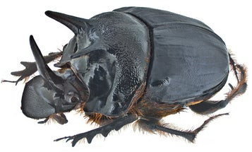 Scientists Gave Beetles An Extra Eye By Deleting Their Horns