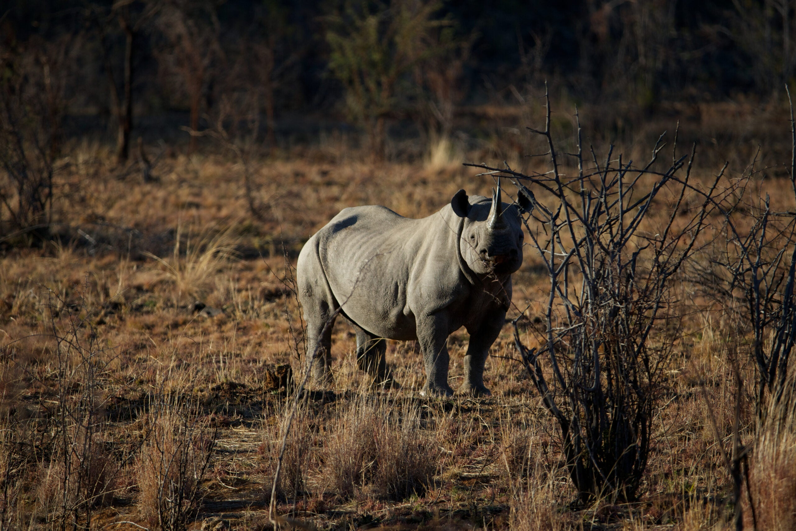 Ecosystems Suffer As Large Herbivores Stand On The Brink Of Extinction