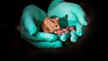 Adult mouse with two mothers