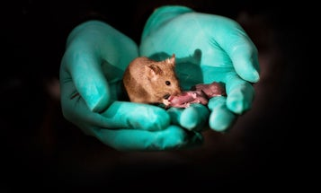 Scientists just created healthy mice with same-sex parents