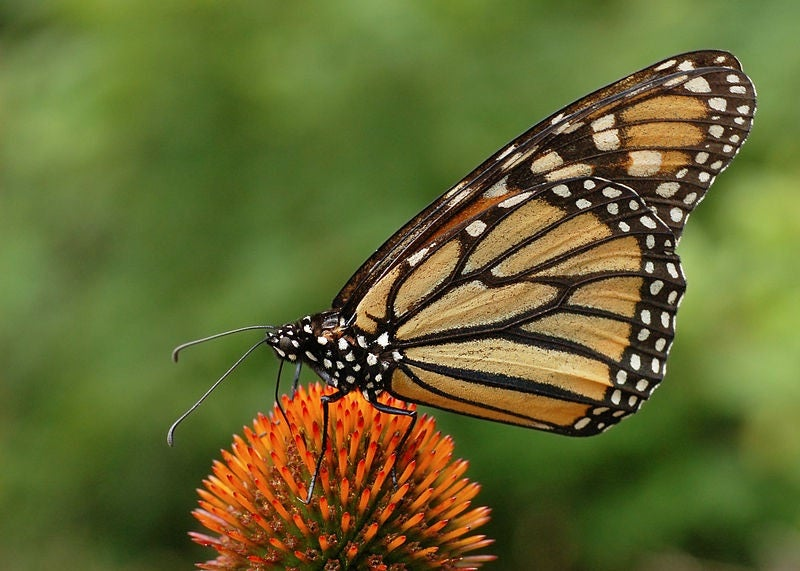 Americans Would Pay $4 Billion To Save Monarch Butterflies